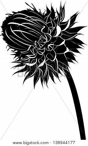 thistle. milk thistle flower in bloom in spring vector black silhouette isolated on white background