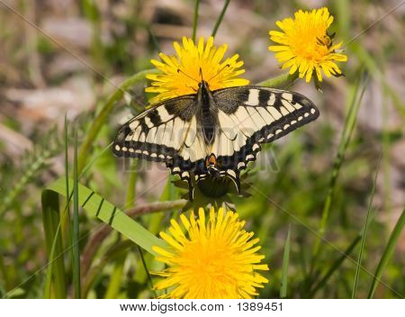 The Butterfly On A Dandelion