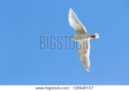 a Glaucous winged Gull with blue sky