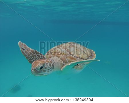 solitary Hawksbill  swimming underwater Barbados natural park