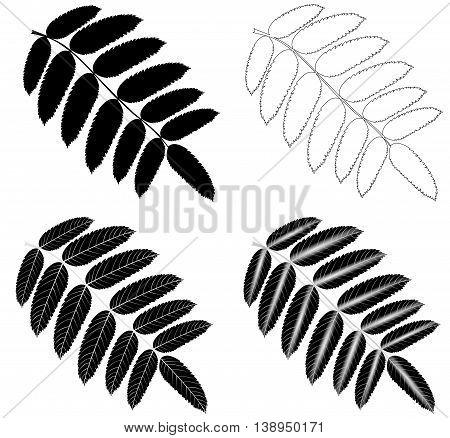 Rowan ,vector . isolated Rowan leaf .