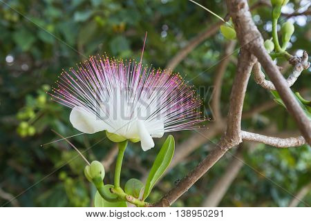 Flower Barringtonia asiatica Fish Poison Tree Sea Poison Tree closeup on natural blurred green background . Fiji.