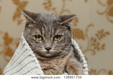 The Scotch Grey Cute Cat is Sitting in the Knitted White Sweater.
