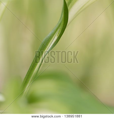 Closeup of green leaf of hosta plant