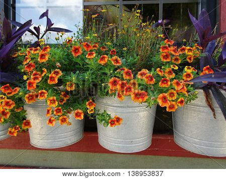 Summer shelf display of apricot colored petunias bordered by purple foliage in galvanized silver pails with blue sky in a window pane reflected in a background window pane