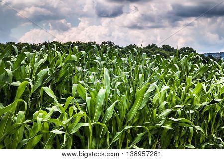 corn field closeup landscape cloudy sky canada