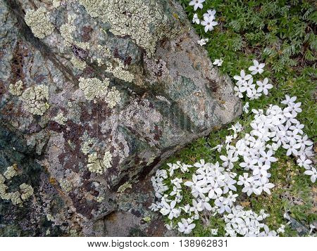 Close up of stone surface, lichen, and wildflowers