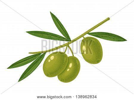 Vector vintage illustration of a green olives