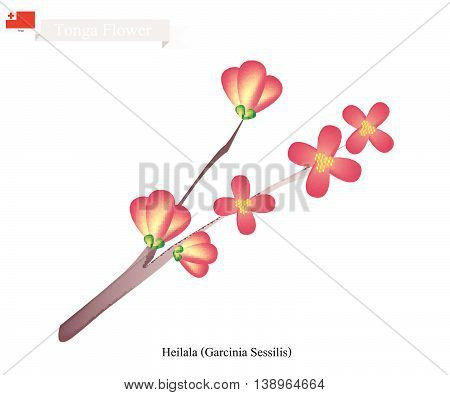 Tonga Flower Illustration of Heilala or Garcinia Sessilis. One of The Most Popular Flowers in Tonga.