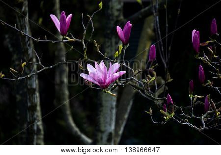 Pink Magnolia Blossom in spring with dark background