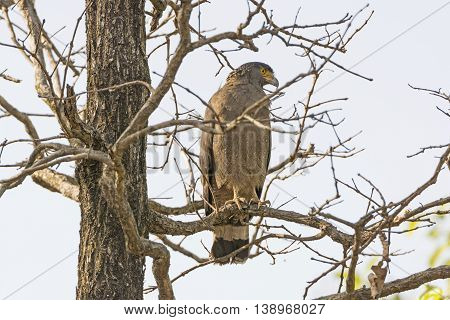Crested Serpent Eagle Looking for Prey in Bandhavgarh National Park in India