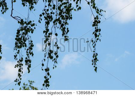 Fresh mild early growth green leaves and branches on background of blue sky