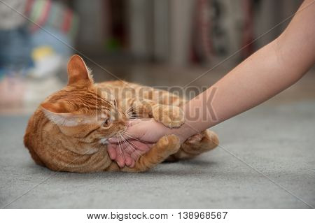 Furry Tabby cat playfully biting and clawing.