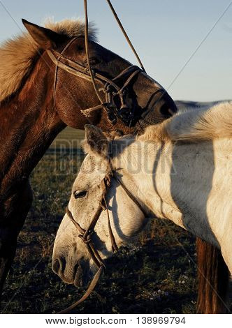 Two Horses Touching And Bonding Concept