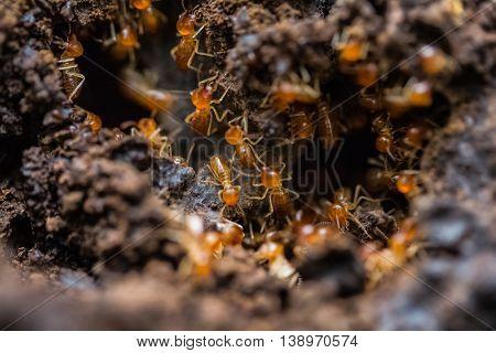Orange big ants crawl on a ground. Madagascar