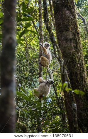 Diademed sifaka lemurs on a tree's branch in a forest. Andasibe - Mantadia national park, Madagascar