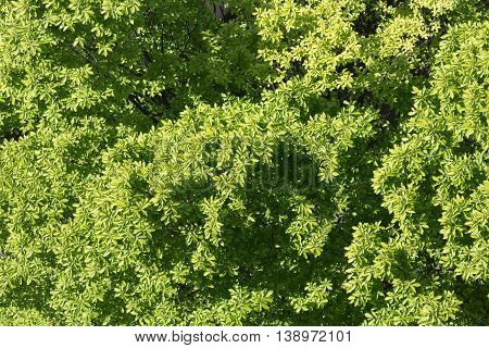 tree top view green leaves in summer