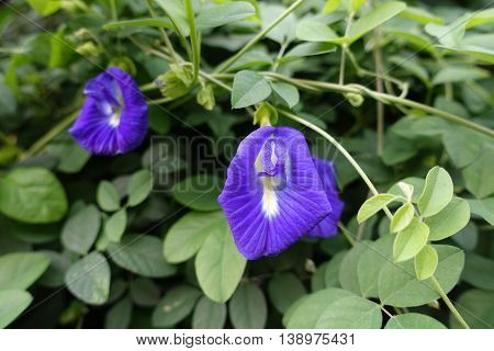 butterfly pea blue pea flower thai herbs