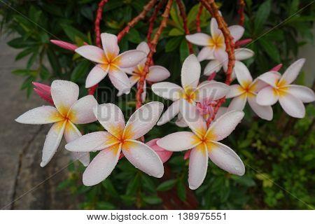 Plumeria flowers (plumeria).frangipani tropical flower in thai