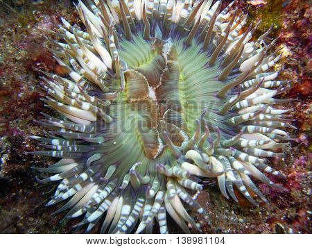 Starburst (Sunburst) Anemone with White-spotted tentacles found off of central California's Channel Islands.