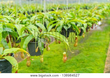 Green  Nepenthes field , also known as tropical pitcher plants or monkey cups