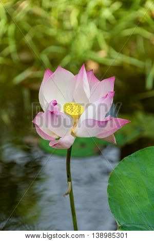 Beautiful Pink Lotus, Pink Water Lily in Cambodia