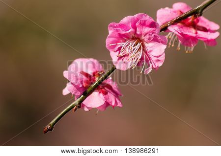 isolated plum tree twig with pink flowers