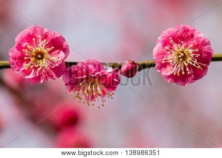 isolated pink plum tree flowers in bloom