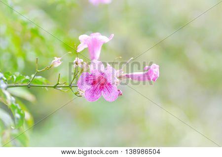Zimbabwe creeper Pink trumpet vine or Trumpet vine flower