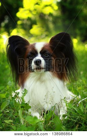 beautiful dog of breed Papillon in summer muzzle closeup
