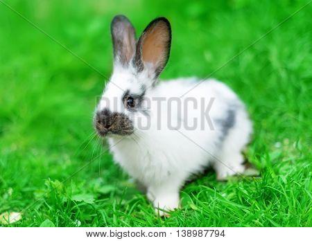 animal, baby, bunny rabbit in green grass