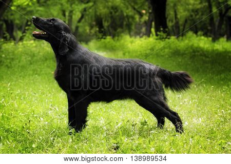 purebred black dog flat-coated Retriever standing in the show position stretched out summer on nature