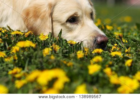 sad Golden Retriever dog laid his head in the grass with dandelions and looks