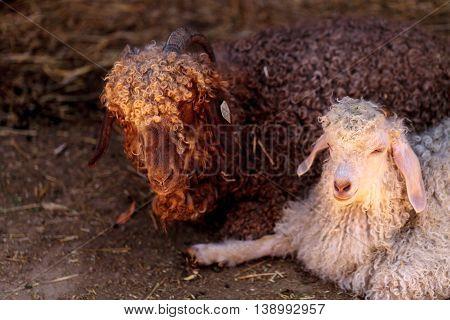 Angora goat, Capra aegagrus hircus, in a barn on a small farm in summer.