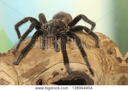 Mexican red rump tarantula Brachypelma vagans on branch