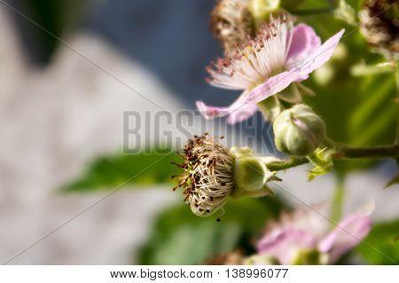 blown in the garden pink flower blackberry
