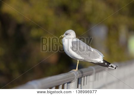 seagull sitting on the railing close up