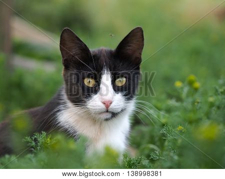 Black and white cat in the green grass. Above the cat flies mosquito