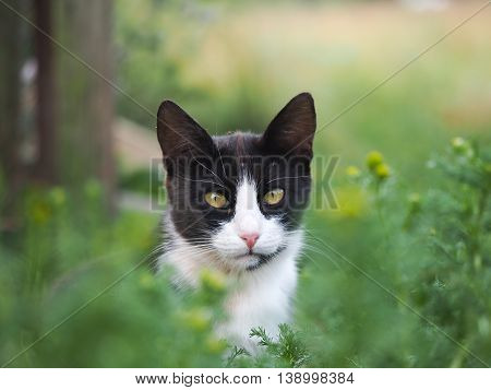 Black and white cat in the green grass. Muzzle cat with yellow eyes portrait