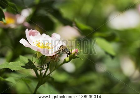 Macro of honey bee on a rose flower. Bee on a pink flower