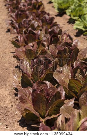 Romaine lettuce grows on a small organic farm in a Southern California garden.