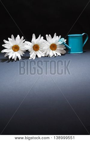 Gardening concept. Daisy flowers near watering can