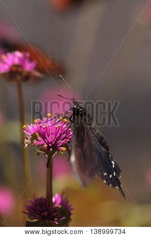 Spicebush swallowtail butterfly, Papilio troilus, is found in North America