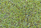 foto of hydrophytes  - Algaes in lake for background and design - JPG