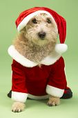 stock photo of dog christmas  - Small Dog In Santa Costume - JPG