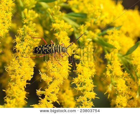 Barrenador de la langosta (Megacyllene robiniae)