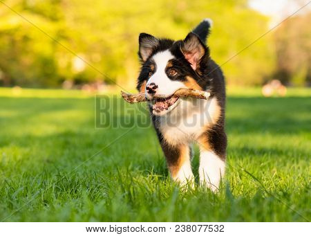 poster of Happy Aussie dog with stick runs on meadow with green grass in summer or spring. Beautiful Australia