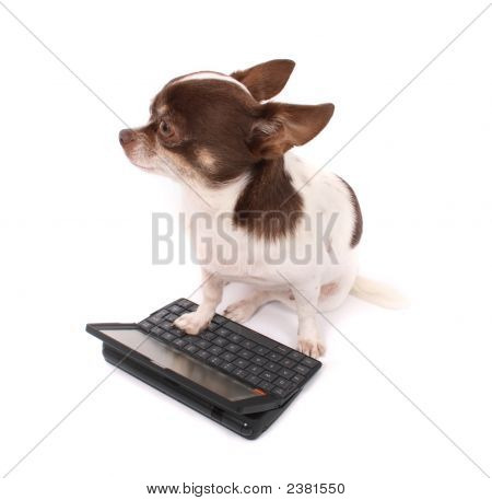 Chihuahua And Her Portable Pc