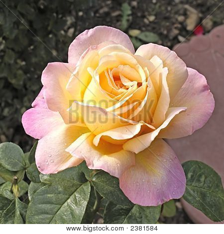 rose gloria day stock photo stock images bigstock. Black Bedroom Furniture Sets. Home Design Ideas