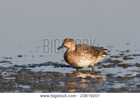 eurasian teal female on the lake (Anas crecca)